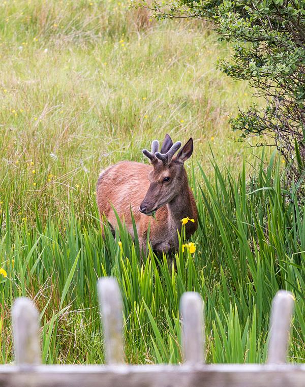 deer & wild iris